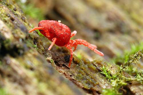 A velvet mite forages over a rotting log in Urbana, Illinois.