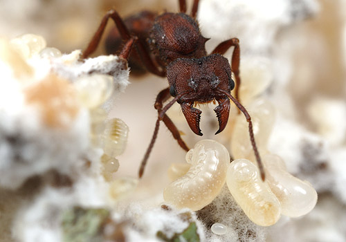 An Acromyrmex queen, with brood, in the fungus garden