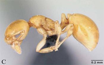 Diaphoromyrma sofiae Fernández et al 2009 - Brazil