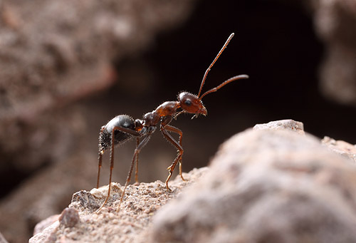 Although we didn't film them, honeypot ants were common at Sycamore Canyon.  Here a worker ant poses at the nest entrance.
