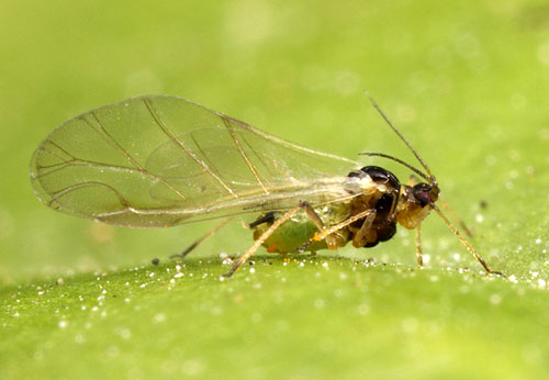 A soybean aphid