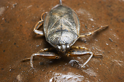 Lethocerus sp., California