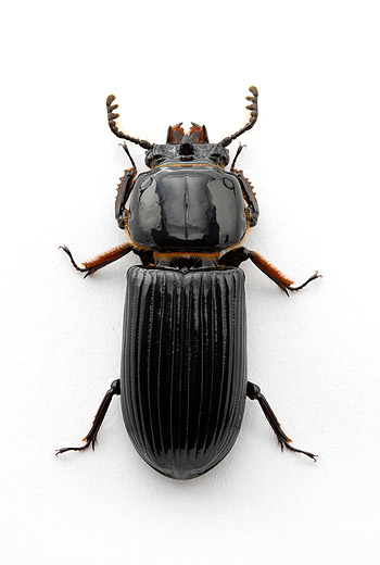 Odontotaenius disjunctus, the horned passalus
