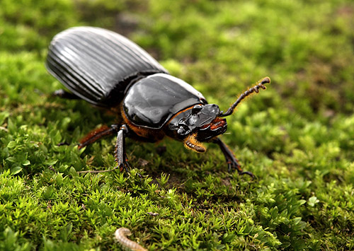 friday beetle blogging a - photo #3