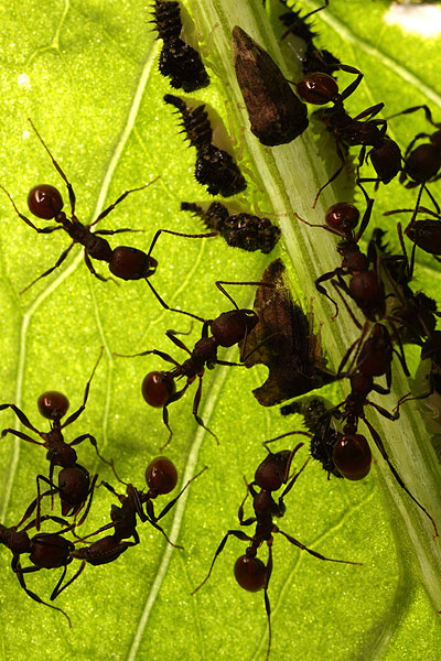 Aphaenogaster tennesseensis ants and Entylia treehoppers, Lake Glendale, Illinois