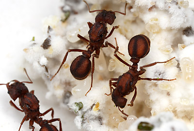 Multiple foundress queens of Acromyrmex versicolor