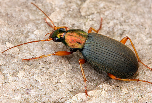 friday beetle blogging a - photo #14
