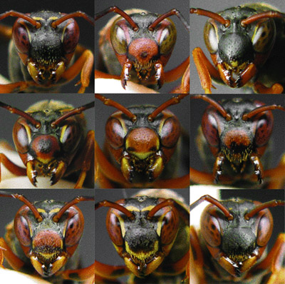 A sampling of face patterns in Polistes fuscatus paper wasps