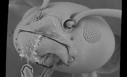 Click to Gigapan this Linepithema ant head