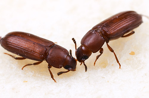 Friday Beetle Blogging: Tribolium flour beetles | Myrmecos ... | 500 x 328 jpeg 61kB