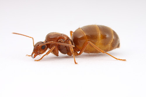 queen ant   Myrmecos Blog