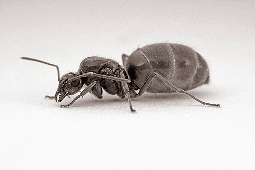 B/W Ant Queen